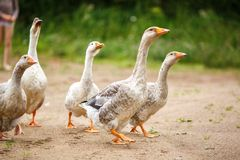 Geese on the field. A herd of beautiful white geese walking in a meadow near a farmhouse Royalty Free Stock Photography