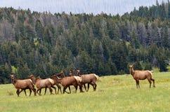 Elk in the wild ! Stock Image