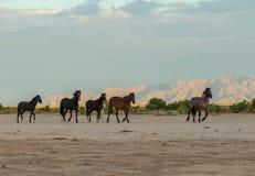 Herd of Beautiful Wild Horses. A herd of wild horses in the Utah desert Royalty Free Stock Photos