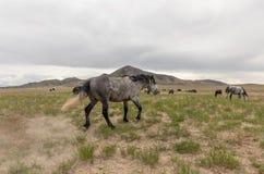 Wild Horses in the Utah Desert. A herd of beautiful wild horses int he Utah desert Stock Images