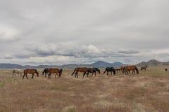 Herd of Wild Horses. A herd of beautiful wild horses int he Utah desert Royalty Free Stock Photos
