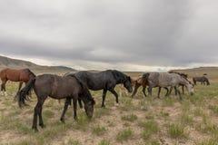 Herd of Wild Horses Grazing. A herd of beautiful wild horses int he Utah desert Royalty Free Stock Image
