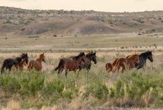 Wild Horses in the Utah Desert. A herd of beautiful wild horses in the Utah desert Royalty Free Stock Photo