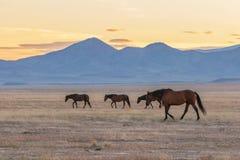 Wild Horses in the Utah Desert. A herd of beautiful wild horses in the Utah desert Stock Photos
