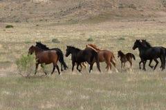 Herd of Wild Horses in the Desert. A herd of beautiful wild horses in the Utah desert Royalty Free Stock Images