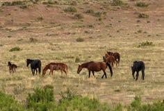 Herd of Wild Horses in Summer. A herd of beautiful wild horses in the Utah desert Stock Images