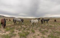 Herd of Wild Horses in the Utah Desert. A herd of beautiful wild horses in the Utah desert Stock Photos