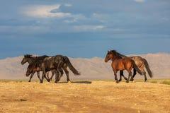 Herd of Wild Horses in the Utah Desert. A herd of beautiful wild horses in the Utah desert Royalty Free Stock Photo