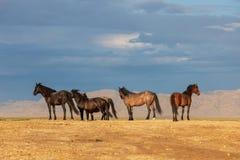 Herd of Wild Horses in the Utah Desert. A herd of beautiful wild horses in the Utah desert Stock Photo