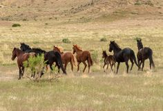 Herd of Wild Horses in the Utah Desert in Summer. A herd of beautiful wild horses in the Utah desert Stock Photography
