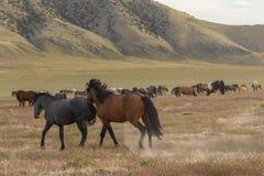 Herd of Beautiful Wild Horses in Utah Stock Image