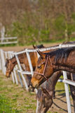 Herd of Beautiful Young Horses Graze on the Farm Ranch Royalty Free Stock Photos