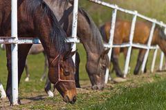 Herd of Beautiful Young Horses Graze on the Farm Ranch Stock Photos