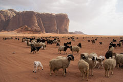 Herd of Bedouin sheep in the desert. Herd of Bedouin sheep and goats in the Wadi Rum desert Royalty Free Stock Photos