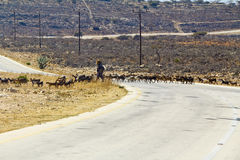 Herd of Bedouin sheep and goats Royalty Free Stock Photography