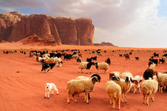 Herd of Bedouin sheep and goats. In the Wadi Rum desert Royalty Free Stock Image