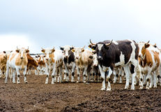 Herd of beef cattle at farm. Farm alerted cows look into camera, focus at a bull on the right Stock Photos