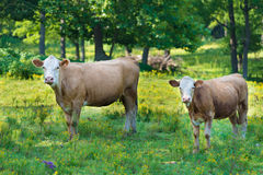 Herd of beef cattle Stock Photos