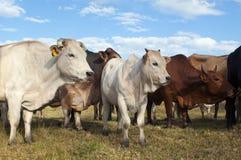 Beef cattle herd in summer Stock Images
