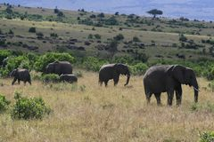 Herd of Big African elephant, Loxodonta africana, grazing in savannah in sunny day. Massai Mara Park, Kenya, Africa. Herd of Big African elephant, Loxodonta royalty free stock photos