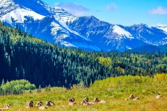 Big horns in a meadow, Waterton Lakes National Park, Alberta, Canada. A herd of big horn sheep laying down in a meadow beneath the rockies Stock Photos