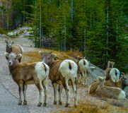 Big horns standing beside the road, Jasper National Park, Alberta, Canada. A herd of big horns most with backs to camera and one looking over its shoulder Royalty Free Stock Photo