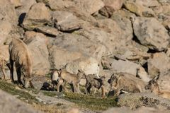 Herd of Bighorn Sheep Ewes and Lambs Stock Photography