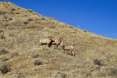Herd of bighorn sheep on a grassy mountain hill on a sunny Montana day. Herd of bighorn sheep with ewe on a grassy mountain hill on sunny Montana day stock images