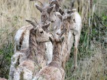 Herd of Bighorn Sheep Stock Photos