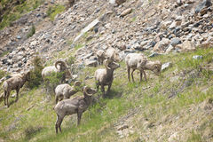 Herd of bighorn sheep. On side of mountain stock photos