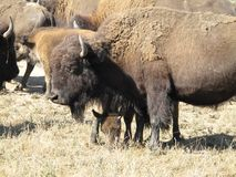 Herd of bison Stock Photography