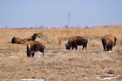 Herd of Bison Royalty Free Stock Photos