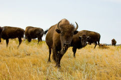 Herd of bison or buffalo stock images