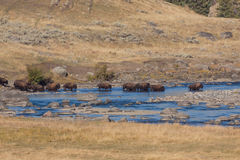 Herd of Bison Crossing River Royalty Free Stock Image