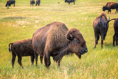Herd of Bison Stock Image