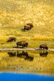 Bison by the pond, Waterton Lakes National Park, Alberta, Canada. A herd of bison down by the pond 6 in total with reflections in the water and ducks swimming by Royalty Free Stock Photos