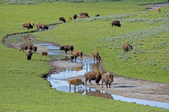 A herd of Bison finding drinking water  in Yellowstone. Stock Images