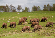 Herd of Bison grazing Royalty Free Stock Photo
