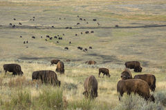 Herd of bison grazing in grasslands of Yellowstone National Park Royalty Free Stock Image