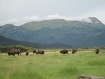 A herd of Bison grazing in a grassy field royalty free stock image