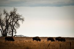 Herd of bison grazing royalty free stock image