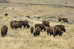 Herd of bison grazing in Lamar Valley, Yellowstone Park, Wyoming Stock Images