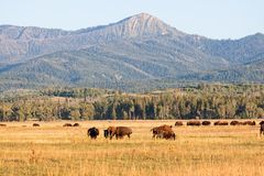 Herd of Bison grazing in the plains in the Grand Teton Stock Photos