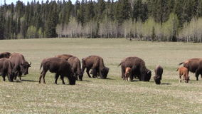 Herd of Bison Grazing Zoom Out stock video
