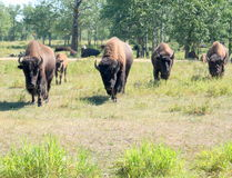 Herd of bison  Royalty Free Stock Photo