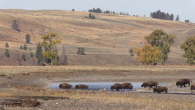 Herd of Bison in the Lamar River stock video footage