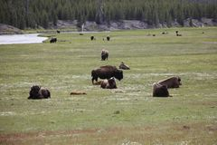Herd of Bison. In the Lamar Valley of Yellowstone National Park Stock Photo