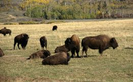Herd of bison migrating Royalty Free Stock Image