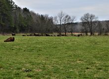 Herd of Bison Near a Forest stock image