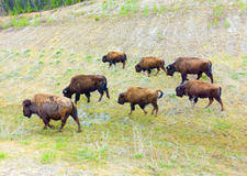 A herd of bison in northern canada Royalty Free Stock Image